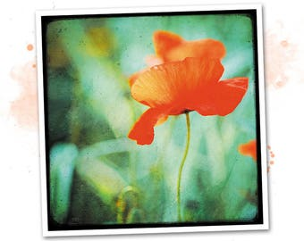 Dancing poppy - Nature - photo art signed 20x20cm