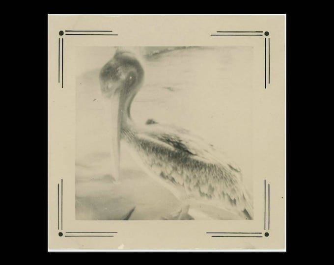 Vintage Snapshot Photo: Pelican, 1951 (74573)
