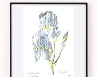 Blue iris botanical wall art, 1986 Vintage botanical print, Sweet iris Botanical print, Iris flower art, home decor, 25th wedding Redoute