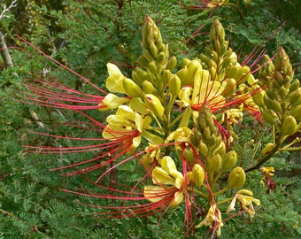 25 Seeds Caesalpinia gilliesii. Desert Bird of Paradise, Yellow Bird of Paradise