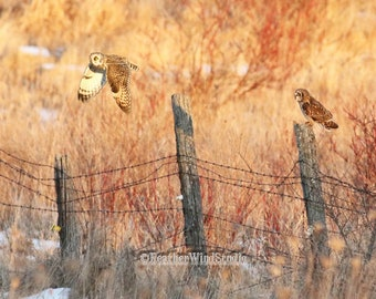 Short Eared Owl Print | Owl in Flight | Owl on Post Wall Art | Unique Home Office Nature Decor | FeatherWindStudio | Barbed Wire Fence Photo