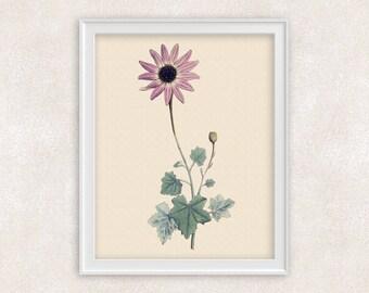 Pink Daisy Botanical Print - 8x10 PRINT Flower Art - Wall Art Prints - Antique Prints - Home Decor - Botanical Art Print -  Item #137