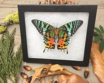 extra large Madagascar Sunset Moth - mounted butterfly, framed butterfly, real butterfly, butterfly specimen, nature specimen, cruelty free