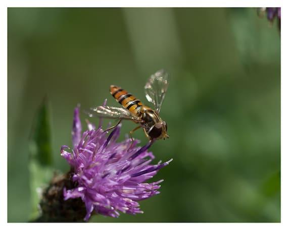 Bee Photography, Nature Photograph, Bee on Thistle, Purple Green Dark Orange, Macro Photo, 5x7 8x10, Fine Art Photography, Home Decor