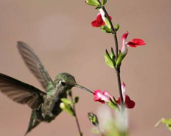 Hummingbird Photography***Nature Photography***California Wildlife