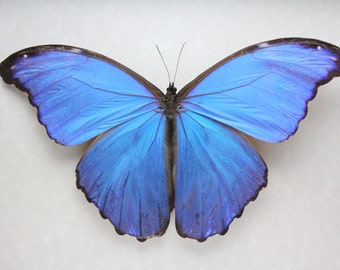 Real Giant Blue Morpho Butterfly framed butterfly bug insect Morpho didius