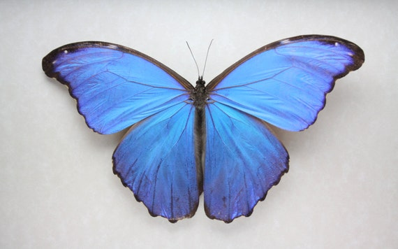 Real Giant Blue Morpho Butterfly Framed Butterfly Bug Insect