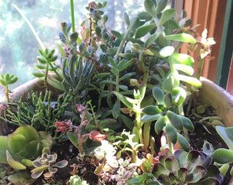 3 Month Succulent & Cactus Subscription