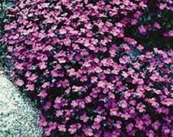 Rock Cress- Aubrieta- Herdersonii- 100 Seeds