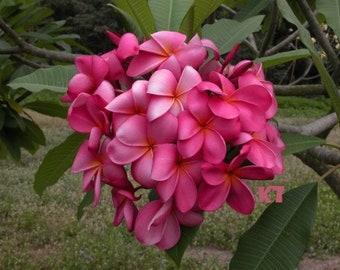Beautiful Plant Plumeria Frangipani Purpur Flowers Seedling With Roots