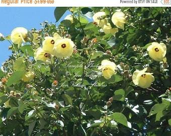 10 seeds Sea Hibiscus Flower Salt Tolerant blooms bright yellow that turning orange Deck Garden Potted Plant Houseplant Hibiscus tiliaceus