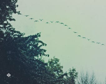 "Nature Photography, Birds, Geese, Evergreens, Snowfall, Surreal, Dreamy, 8x10. ""Migration""."