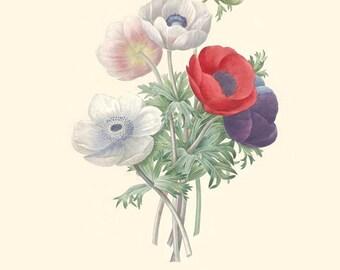 Vintage Flower Bouquet of Anemones Print 8x10 P199