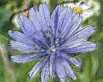 Chicory Flower with Daisies