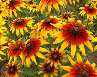 Daisy Flower Seeds / 40 Seeds / Rudbeckia seed / Garden Flower Seed  / Annual Flower Seed / Butterfly Nectar Seed / Bicolor Gloriosa Daisy