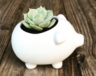 3 inch white ceramic pig planter with succulent included