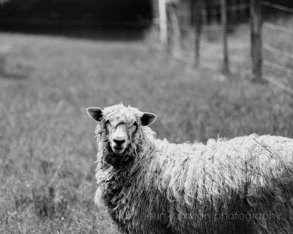 Rustic home decor country farm animal photography rustic