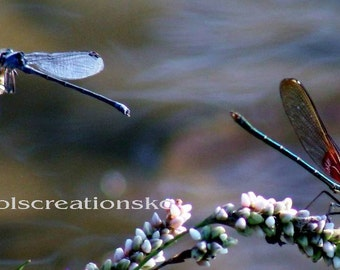 Nature Photography - Two Dragonflies - water, dragonfly, blue, close up, flower, insect, red, 8x12