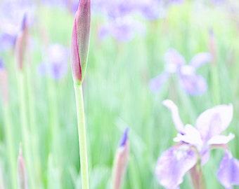Flower Photography,  Iris Photograph, Nature Print, Garden, Flower Bud, Spring Art, Pastel Colors, Pink, Green, Lavender - Spring Again
