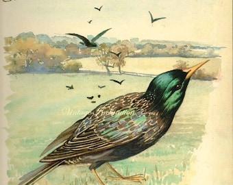 Antique Print,  Starling English Birds 154, Edwardian chart beautiful wall art vintage color lithograph illustration 1970 farm fields