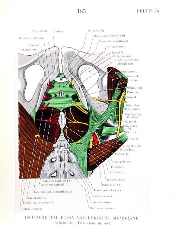 Human Anatomy Ischiorectal Fossa Perineal Membrane