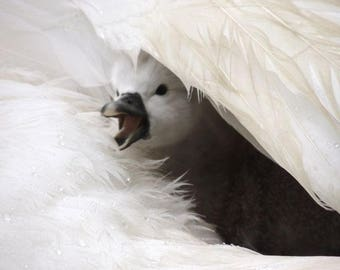 Hello! I Am A Cygnet - Baby Swan - Stop Raining - Today Is my Birthday - Cute - Tenderness - Baby Animal - Cygnet with Swan - Nature  Photo