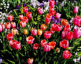 Tulips - Image 1952