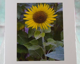 Natural Sunflower photo, matted