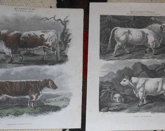 two hand tinted vintage cow engravings syd edwards