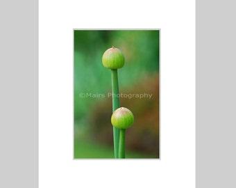 Graceful Onions Serene Green Buds Nature, Cottage Decor, Garden Photography, Fine Art Photography matted & signed 6x9 original photograph