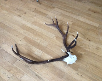 Large Royal deer Antlers 12 points