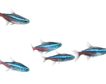 "School of Neon Tetras 12"" x 4"" Panoramic Art Print, Colorful Tropical Freshwater Fish Tank Decor, Minimalist Aquarium Art, Red, White & Blue"