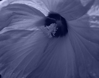 Rose Mallow 4, in Blue