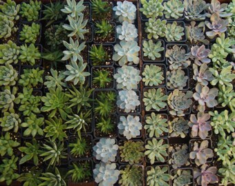 """ItsBees 6 Month Succulent of the Month Club Membership - Live 3"""" Succulents Shipping Included - Wedding, Gift, Home, Garden - FREE SHIPPING"""