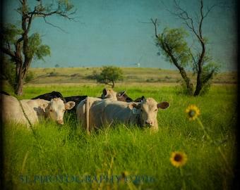 Cow Photography Rustic Wall Art Farmhouse Decor American West Art Print Western Photography