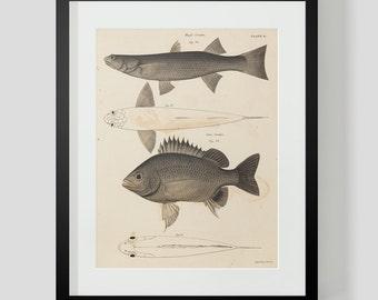 Fish Illustration Plate 9