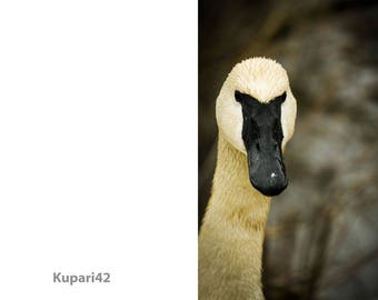 Photo Greeting Card - Swan - Blank Inside