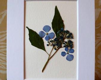 Real Pressed Flower Art Pressed Botanical Art Herbarium of Bluebird Hydrangea 5x7