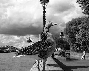 Photography, London Black And White Photos, Bird Print, Bird Art, Greylag Goose, River Thames, Decorative Wall Art, Instant Download Photos