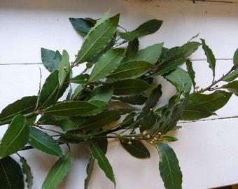 Organic European Bay leaves fresh picked to order