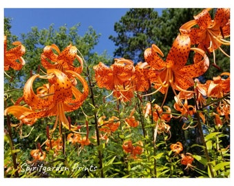Digital download -  Tiger Lillies Photo Print