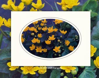 04.46 Marsh Marigold Individual Note Cards