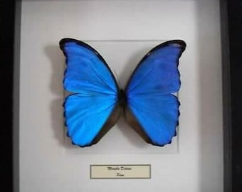 Mounted butterfly in frame Morpho Didius