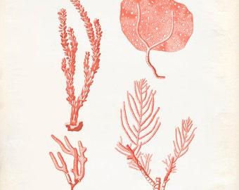 Vintage Sea Fan Coral Print 8x10 P293