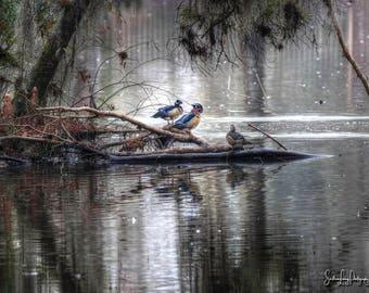 Wood Ducks, Woodies, Country Life, Pond, Logs