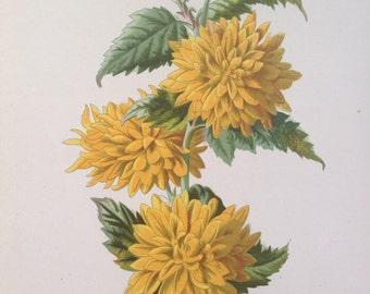 1879 DOUBLE KERRIA Original Antique Botanical Lithograph - Botany - Flower - Wall Decor - Yellow Flower - Home Decor