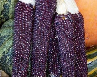 Shaman Blue Corn 30+ Seeds,   heirloom rare purple corn