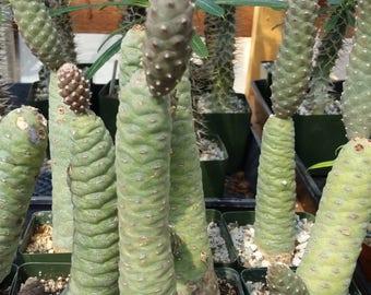 Tephrocactus Articulatus Cactus Cacti Succulent Real Live Plant