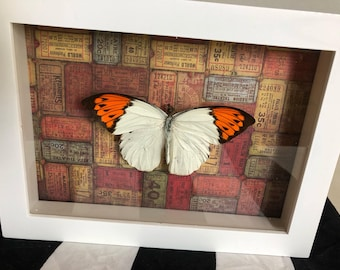 Real butterfly in shadow box