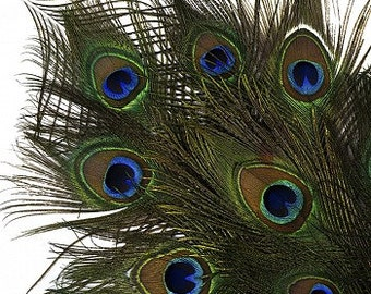 """25-35"""" Natural Peacock Feathers 25pc/pkg"""